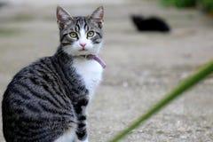 Europäische Katze, die zur Kamera schaut lizenzfreie stockfotografie