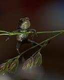Europäische Kröte, Bufo-bufo 15 Millimeter-Baby Stockbilder
