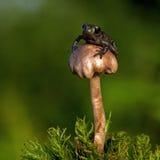 Europäische Kröte, Bufo-bufo 15 Millimeter-Baby auf Schwamm Lizenzfreie Stockfotos
