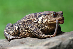 Europäische Kröte des Frosches (bufo bufo) Lizenzfreie Stockfotografie