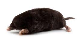 Europäische Mole (Talpa europaea) Lizenzfreie Stockbilder