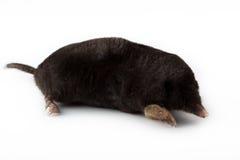 Europäische Mole (Talpa europaea) lizenzfreie stockfotos