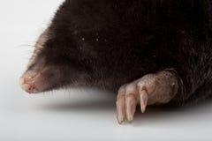 Europäische Mole (Talpa europaea) Stockfotos