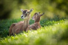 Europäische mouflon Frau mit einem youngst lizenzfreies stockfoto