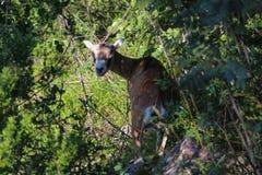 Europäische mouflon Frau zwischen Bäumen Lizenzfreie Stockfotos