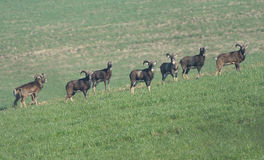 Europäische mouflon Schafe Lizenzfreies Stockfoto