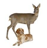 Europäische Rogen-Rotwild, die mit dem Hundelügen stehen Stockbild