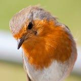Europäische Rotkehlchennahaufnahme, die Federdetail zeigt Stockfotografie