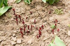 Europäische schöne junge Sprösslinge der Pfingstrose (Paeonia officinalis) lizenzfreie stockbilder