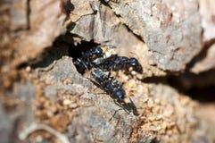 Europäische schwarze Ameisen Lizenzfreie Stockbilder