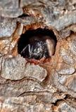 Europäische schwarze Ameisen Stockfotografie