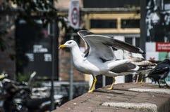Europäische Silbermöwe, die geht zu fliegen stockbilder