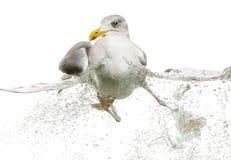 Europäische Silbermöwe, die in gestörtes Wasser schwimmt Lizenzfreie Stockfotos