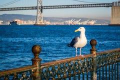 Europäische Silbermöwe in San Francisco, Kalifornien lizenzfreie stockbilder