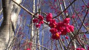 Europäische Spindel des schönen Busches (Euonymus europaeus) im Herbstwald stock footage