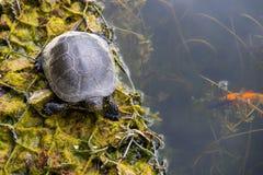 Europäische Teichschildkröte Lizenzfreies Stockfoto