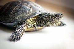 Europäische Teichschildkröte Stockbild
