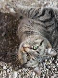 Europäische Tigerkatze, die auf peebles liegt Stockfotos