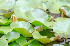 Europäische weiße Waterlily-Blätter Stockfoto