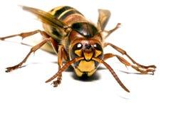 Europäische Wespe Lizenzfreie Stockbilder