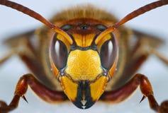 Europäische Wespe Lizenzfreies Stockbild