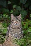 Europäische wilde Katze Lizenzfreie Stockfotos