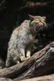 Europäische Wildkatze (Felis silvestris silvestris) Lizenzfreies Stockbild