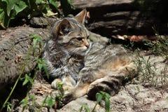 Europäische Wildkatze (Felis silvestris silvestris) Stockfotos