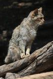 Europäische Wildkatze (Felis silvestris silvestris) Lizenzfreie Stockfotos