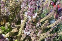 Europäische Wollkremplerbiene auf blühendem Basilikumkraut wilde alleine Biene stock video