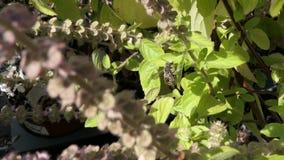Europäische Wollkremplerbiene auf blühendem Basilikumkraut wilde alleine Biene stock video footage