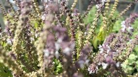 Europäische Wollkremplerbiene auf blühendem Basilikumkraut wilde alleine Biene stock footage