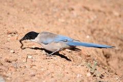 Europäische Woodpigeons Stockfotografie