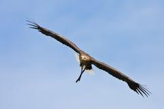 Europäischer Adler Stockfoto