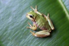 Europäischer Baumfrosch, der auf grünem Blatt sitzt Stockbild