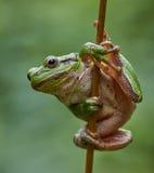 Europäischer Baumfrosch, der an einem Stroh hängt Stockfotografie