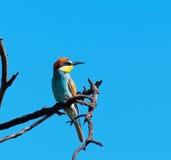 Europäischer Bee-eater, der nach links schaut Stockbilder