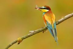 Europäischer Bienenfresser, Merops apiaster, schöner Vogel, der auf der Niederlassung mit Libelle in der Rechnung sitzt Aktionsvo stockbilder