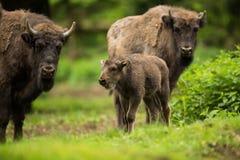 Europäischer Bison Stockbild