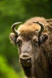 Europäischer Bison Lizenzfreie Stockbilder