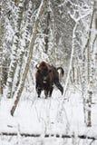 Europäischer Bison Lizenzfreies Stockfoto