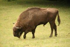 Europäischer Bison Stockfotos