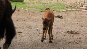Europäischer Bison. Baby-Bison bonasus stock video footage