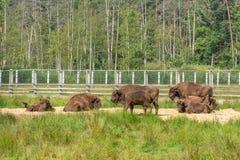 Europäischer Bison, Bison bonasus, Visent stockbild