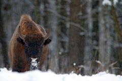 Europäischer Bison im Winterwald, kalte Szene mit großem braunem Tier im Naturlebensraum, Schnee im Baum, Lizenzfreie Stockfotografie