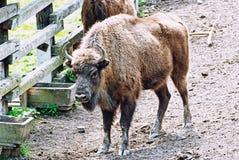 Europäischer Bison kommt zur Zufuhr Stockfoto