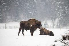 Europäischer Bison während des Winters auf Schnee Stockfotos