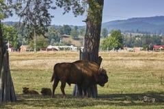 Europäischer Bisonstier und -kälber stockfotografie