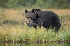 Europäischer Braunbär, der frisch gefangene Lachse isst Lizenzfreies Stockfoto