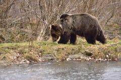 Europäischer Braunbär in Rumänien Lizenzfreie Stockfotos